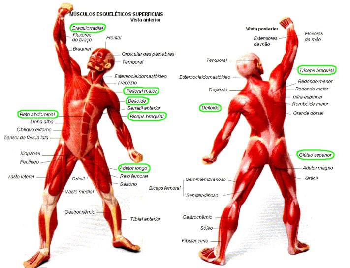 Músculos em posição de esgrima