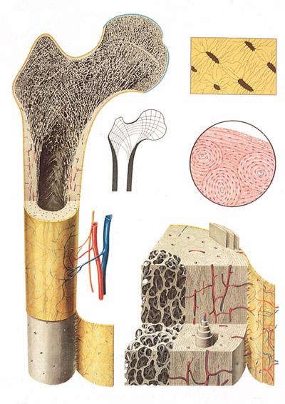 O osso e suas estruturas